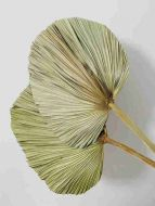 Hand Fan Palm Leaves Dry grass