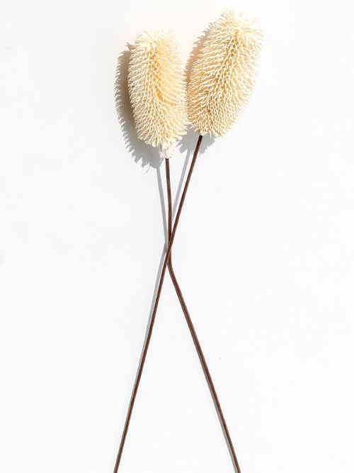 White Dried Dipsacus Thistle dry grass