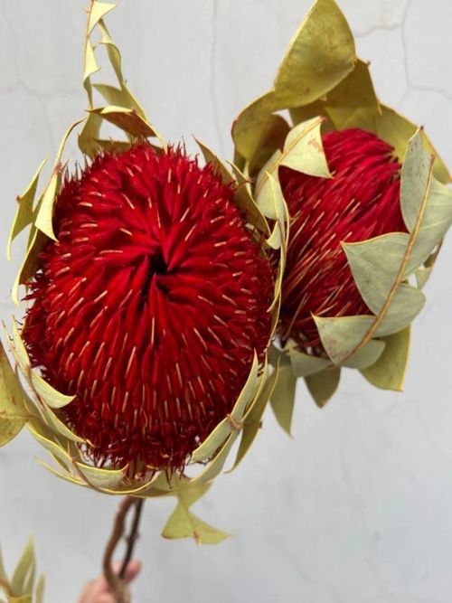 Round Ball Banksia - Red