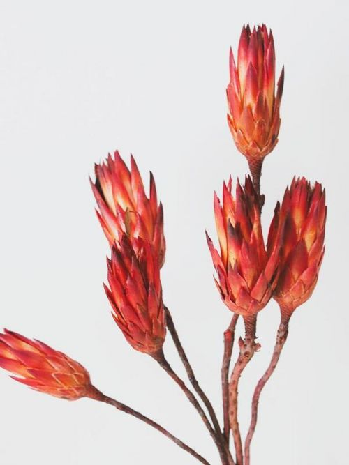 Red Dried Flower Protea