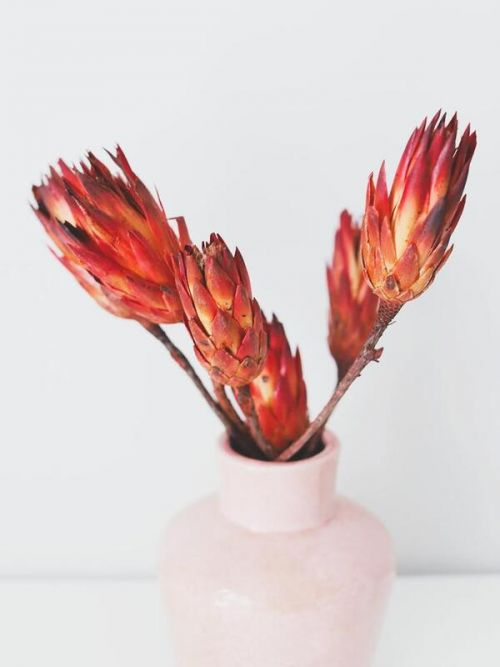 Dried Flowers Red Dried Flower Protea