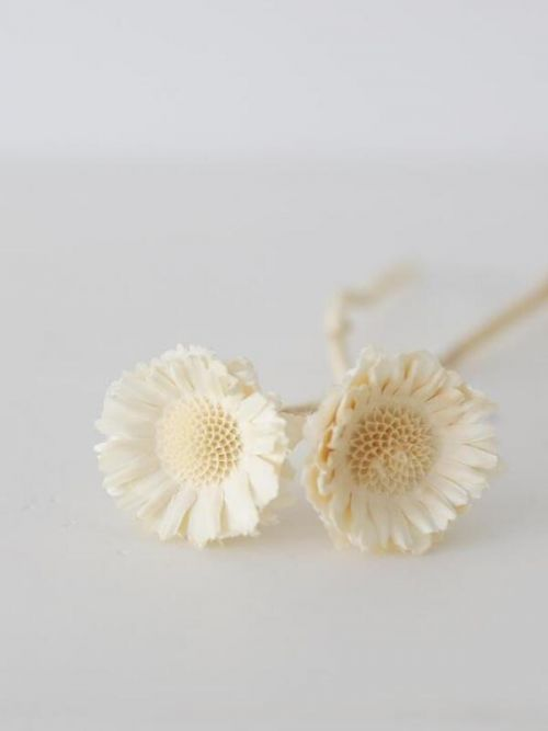 Dried Flowers White Dried Natural African Sunflowers Flowers